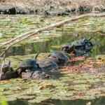 Schildkröten im Nationalpark 1