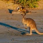 Kangoroo 3