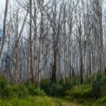 abgebrannter Wald 1