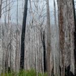 abgebrannter Wald 2