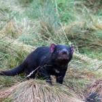 Tasmanischer Teufel 1