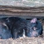 Tasmanischer Teufel 2