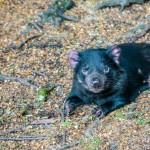 Tasmanischer Teufel 3