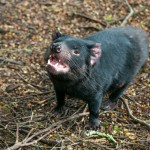 Tasmanischer Teufel 4