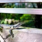 Begrüssungs Lizard auf unserem Platz